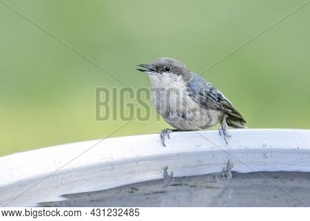 A Cute Pygmy Nuthatch Is Perched At The Bird Bath In North Idaho.