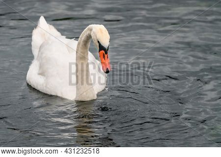 Mute Swan, Cygnus Olor, Swimming In The Dark Sea With Droplets Falling Down From Her Beak, Creating