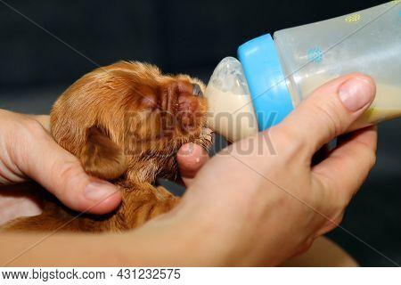 English Cocker Spaniel, Golden Newborn Puppy Fed From A Baby Bottle. Little Golden Cocker Spaniel He