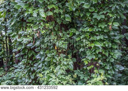 Poison Ivy And Virginia Creeper Both Are Growing Together Up The Bark Covering The Trees One Is Pois