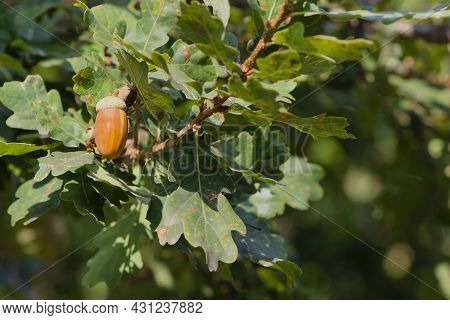 Acorns. Background Green Oak Leaves And Acorn On A Branch. Close-up Of An Oak Branch With Green Leav