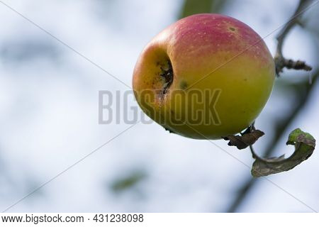 Red Juicy Apple On A Branch. Fruits In Autumn, On A Branch In The Garden. Apple On A Branch Close-up