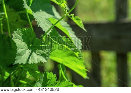 Wild Nettle Grass Grows Along The Fence In Summer.