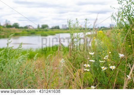 Large Reeds Grow On The River Bank