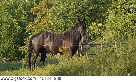 Country Dark Brown Horse Equine Farm Purebred Animal Gallop Rural Equestrian Landscape