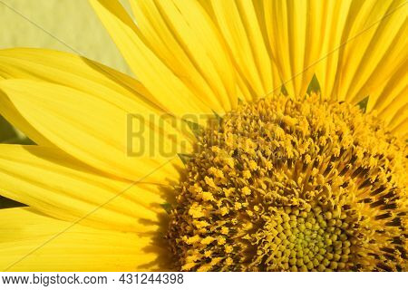 Fragment Of A Beautiful Yellow Blooming Sunflower. Close Up Detail And Texture Of Petals, Stamens An