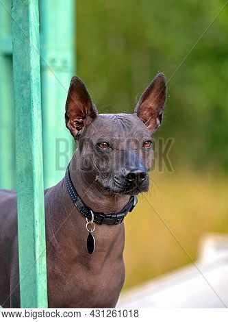 Xoloitzcuintle (mexican Hairless Dog)  Three Quarters Portrait Close-up With Black Collar On Blurred