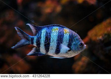 Indo-Pacific sergeant Abudefduf vaigiensis Sergeant major fish underwater