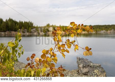 Group Of Small Trees Birch Aspen With Green And Red Leaves Are By A Pond On A Blurred Background In