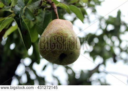 Green Pears On The Tree  In The Summer Garden. Branch Of A Pear Tree With Some  Green Healthy Pears.