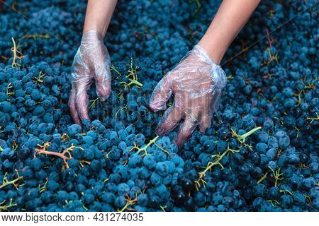 Hands Of Winemaker . Crop Of Grape For Wine Making