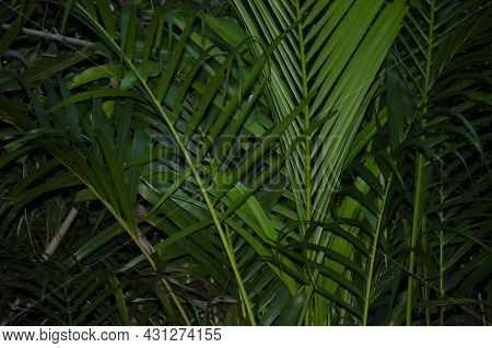 Selective Focus On Green Areca Palm Plant In The Garden.