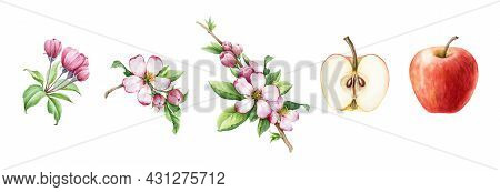 Apple Fruit And Flower Set. Watercolor Floral Illustration. Red Apple, Half Cutted And Spring Tender