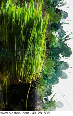 Green Sprouts Of Oats For Cats. Fully Sprouted Oats In Sunlight In A Black Flowerpot. Digital Waterc