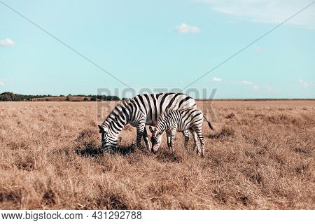 Beautiful Pregnant Zebra And Cute Baby Are Walking Along The Steppe And Eating Grass On A Sunny Day.