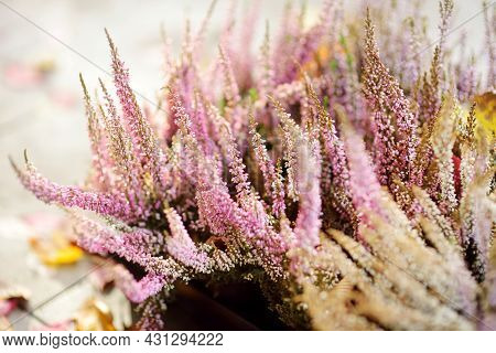 A Flowering Heather Plant. Beautiful Outdoor Scenery.