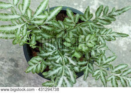 Top View Of Silver Fern, Sword Brake Fern, Slender Brake Fern Growing In Pot In The Garden.