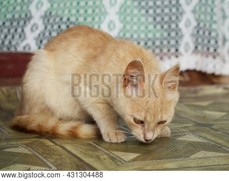 A Small Yellow-eyed Cat Is Sniffing The Floor.