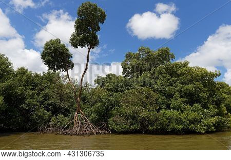 Mangrove Forest In Martinique Island, French West Indies