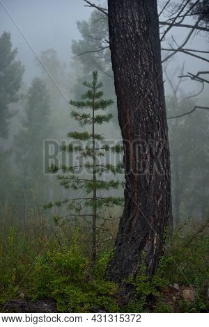 Russia. Trans-baikal Territory. A Young Pine Tree Under A Large Curved Pine Tree Against The Backgro