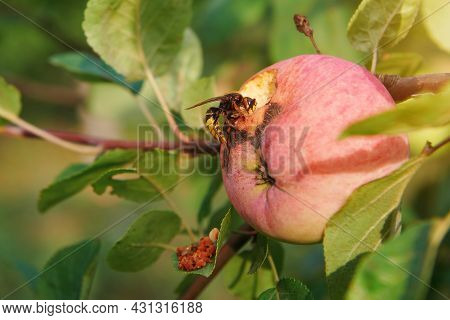 The Wasp Eating An Apple On An Apple Tree. Gnawed Apple On A Tree. Protection Concept Of Harvest In