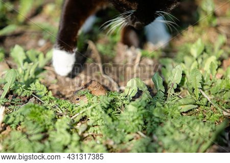 Black Cat With White Paws Hunt For A Mouse In The Grass. Focus In The Mouse. Apodemus Agrarius.
