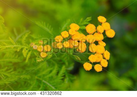 Tansy Is A Genus Of Perennial Herbaceous Plants And Shrubs. Effective As An Antipyretic, Hemostatic,