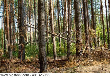 Pine Trunks In A Sunny Pine Forest. Pine Trees In The Forest. Forest Pines. Pine Forest View, Pine T