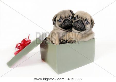 Puppies Present.