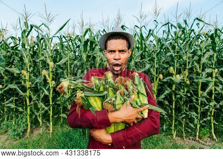 Harvest Time. Surprised African American Farmer Gathering Corn Cobs. Happy Modern Farmer With Hat Is