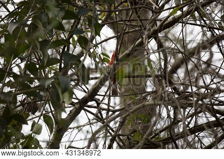 Male Cardinal (cardinalis Cardinalis) Singing From Its Perch
