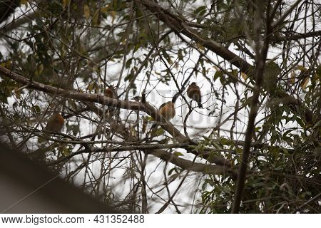 Flock Of American Robins (turdus Migratorius) Perched In Tree Limbs