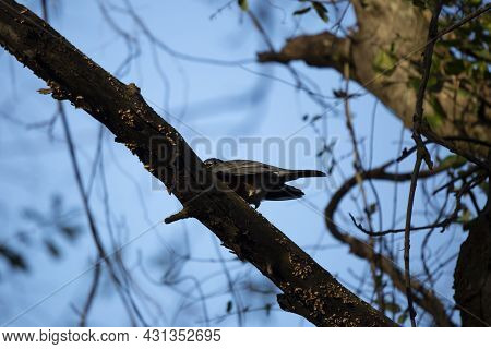 American Robin (turdus Migratorius) Stretching Over A Tree Limb