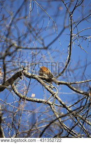 American Robin (turdus Migratorius) Perched Majestically On A Tree Limb