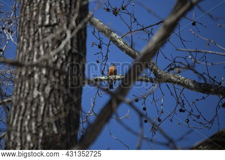 Majestic American Robin (turdus Migratorius) Looking Out From Its Perch On A Tree Branch