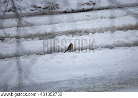 Majestic American Robin (turdus Migratorius) Standing In Ruts In Snow And Ice Dug By Vehicles