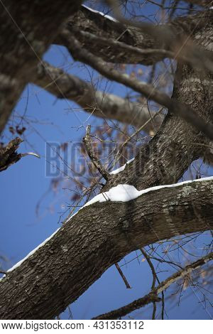 Snow Along Tree Limbs On A Bright Day