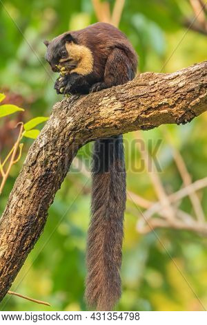 Selective Focus Image Of An Indian Giant Squirrel Also Known As Malabar Squirrel Or Giant Squirrel S