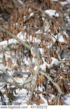 Tufted-titmouse (baeolophus Bicolor) Looking Out Majestically From Its Perch Near Dead Leaves Over S