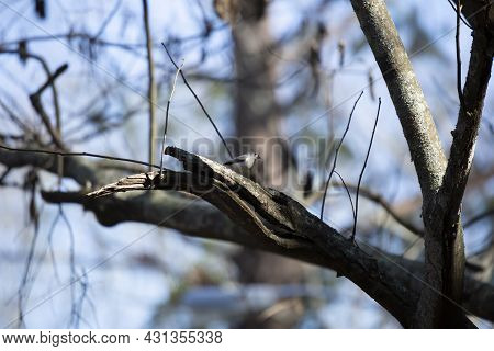 Tufted-titmouse (baeolophus Bicolor) Looking Out Majestically From Its Perch