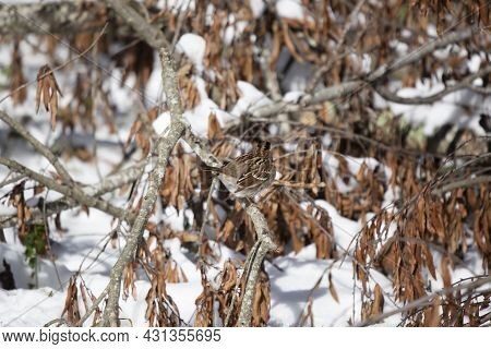 White-throated Sparrow (zonotrichia Albicollis) Looking Around From Its Perch On A Fallen Tree Limb