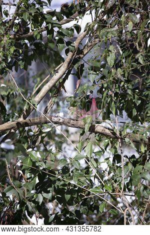 White-throated Sparrow (zonotrichia Albicollis) Singing Near A Pile Of Snow On A Tree Limb