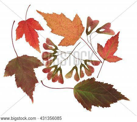 Pressed And Dried Leafs, Flowers (female Inflorescence) Maple Tree, Isolated On White Background. Fo