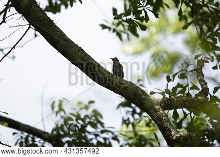 Gray Catbird (dumetella Carolinensis) Looking Out From Its Perch On A Tree Limb