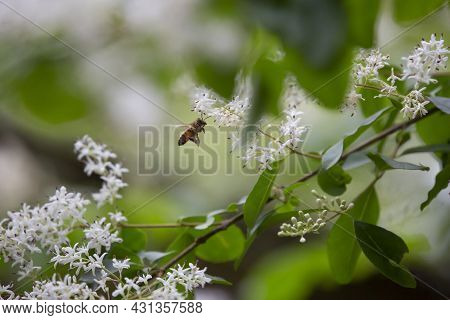 Honeybee (apis) In Flight Pollinating White Blooms On A Plant