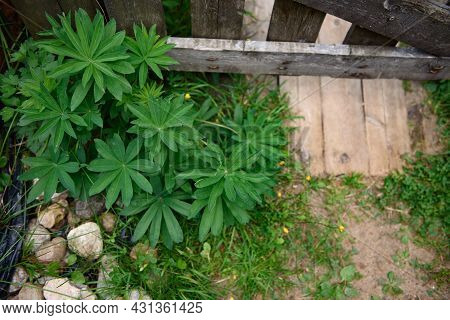 A Close-up Of A Multi-leaved Lupin Near The Wooden Fence