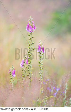 Beautiful Pink Flower Purple Foxgloves, Digitalis Purpurea, In Woodland, Czech Republic Wilderness