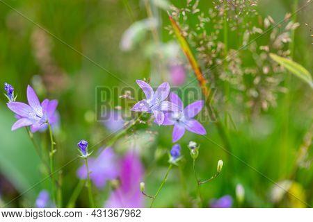 Flower Campanula Patula, Wild Flowering Plant In Summer Meadow, Beautiful Purple Spreading Bell-flow