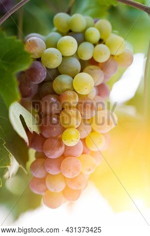 A Bunch Of Grapes For Wine Growing On A Grape Farm In The Summer Under The Sunshine. Agriculture And