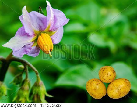 Harvest Potatoes Against The Background Of A Flowering Bush. Blooming Potato Bush Flower. Raw Food.
